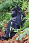Trekking para visitar os gorilas no Uganda
